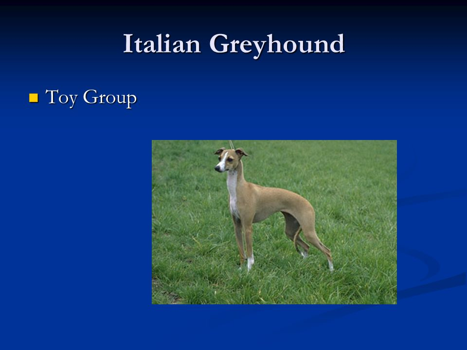 Italian Greyhound Toy Group Toy Group