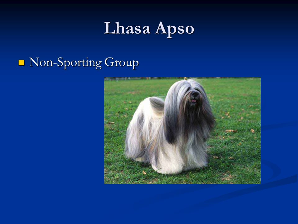 Lhasa Apso Non-Sporting Group Non-Sporting Group