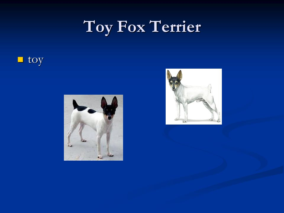Toy Fox Terrier toy toy