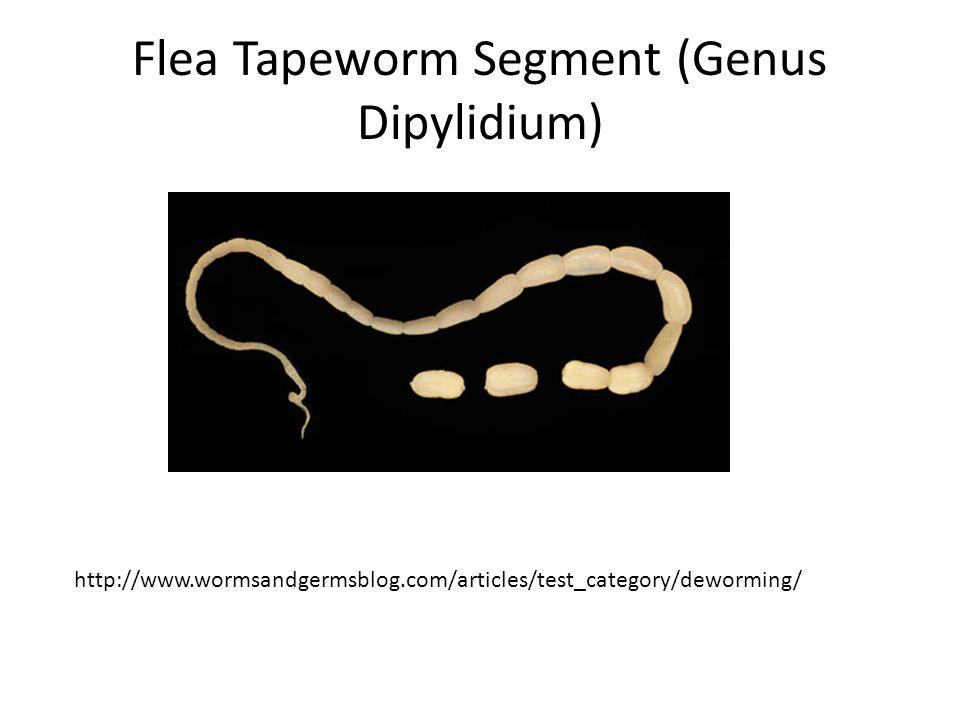Flea Tapeworm Segment (Genus Dipylidium) http://www.wormsandgermsblog.com/articles/test_category/deworming/