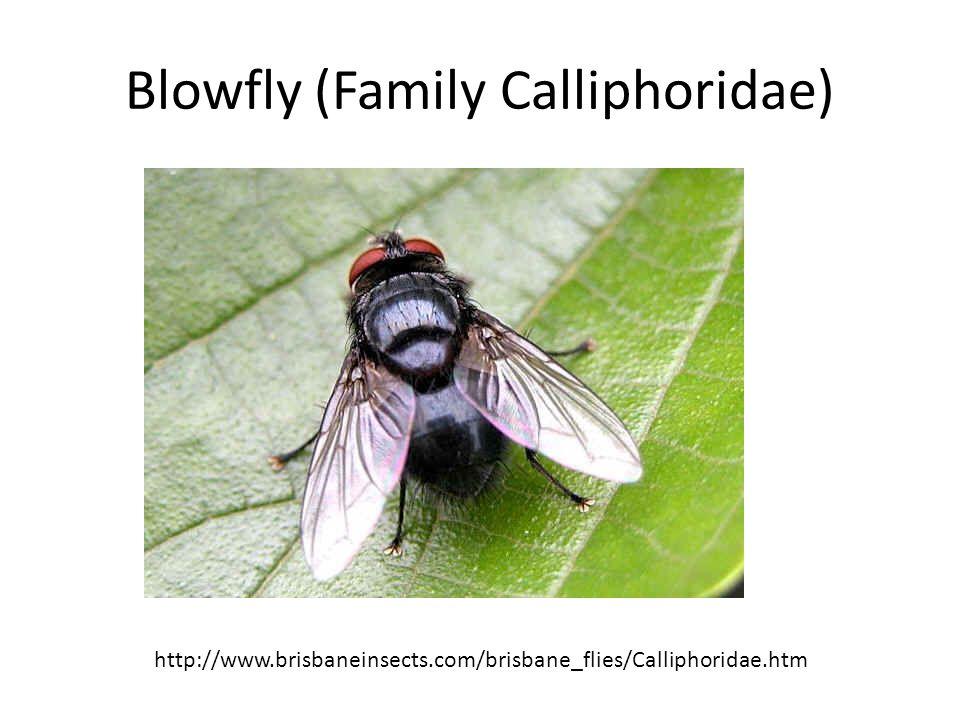 Blowfly (Family Calliphoridae) http://www.brisbaneinsects.com/brisbane_flies/Calliphoridae.htm