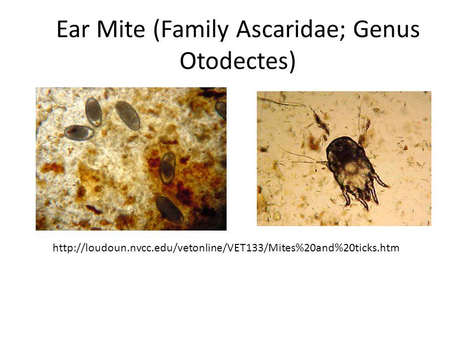 Ear Mite (Family Ascaridae; Genus Otodectes) http://loudoun.nvcc.edu/vetonline/VET133/Mites%20and%20ticks.htm