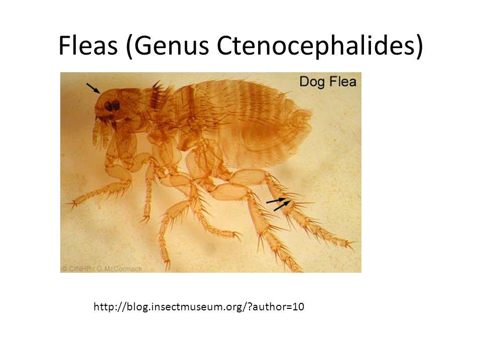 Flea Larva (Genus Ctenocephalides) http://www.icb.usp.br/~marcelcp/Ctenocephalidesfelis.htm
