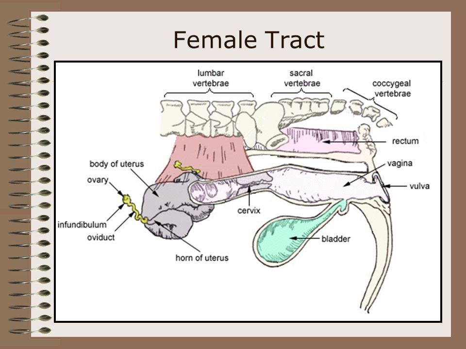 The Female Reproductive System Objective: Identify the parts of the female reproductive system of livestock