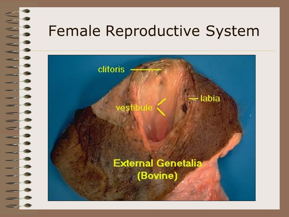 Female Reproductive System Vagina - the female organ of copulation 1. admits penis 2. receives semen (except in sow) 3. passageway for fetus at partur