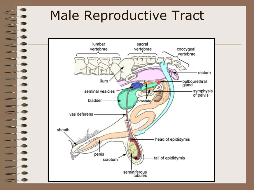 The Male Reproductive Tract Objective: Identify the parts of the male reproductive system of livestock and poultry