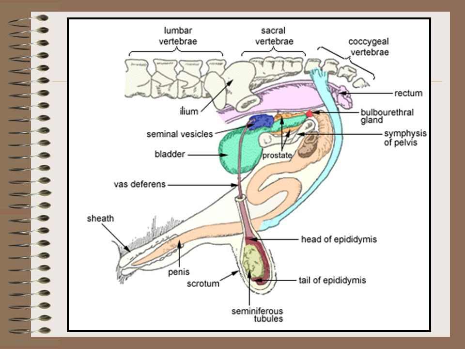 Male Reproductive Tract Cowpers gland Also called the Bulbourethral gland Paired organs cleans the urethra prior to semen passage