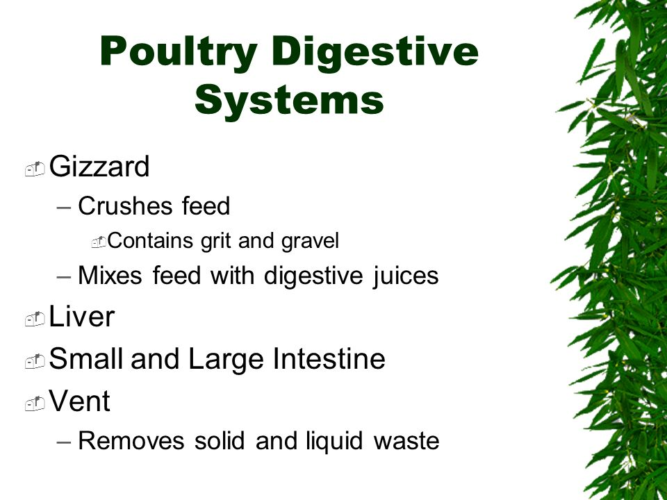Poultry Digestive Systems Gizzard –Crushes feed Contains grit and gravel –Mixes feed with digestive juices Liver Small and Large Intestine Vent –Removes solid and liquid waste