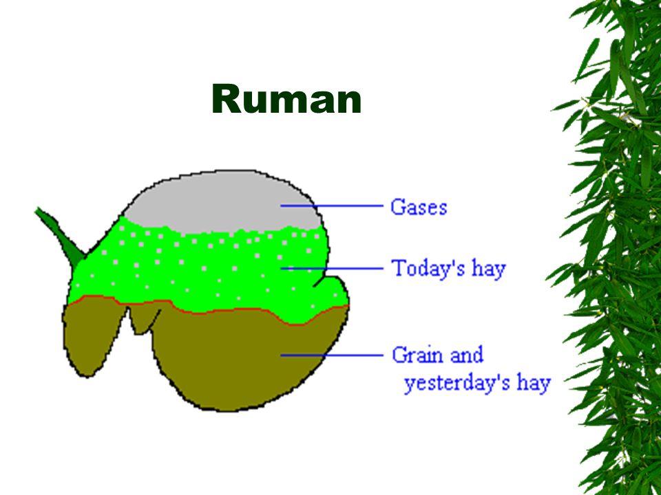 Ruman