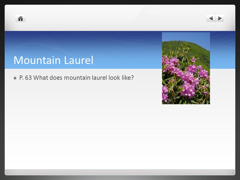 Mountain Laurel P. 63 What does mountain laurel look like?