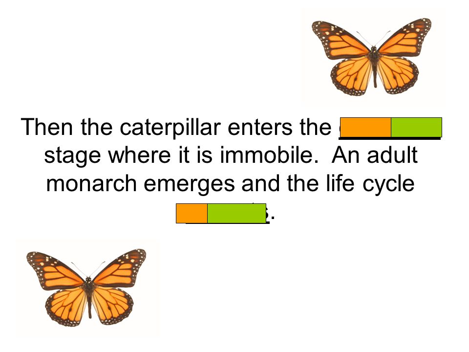 Then the caterpillar enters the chrysalis stage where it is immobile. An adult monarch emerges and the life cycle repeats.