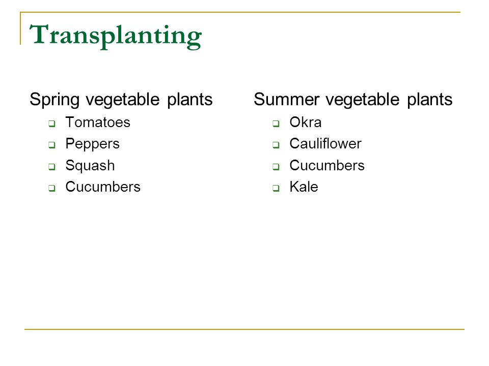 Transplanting Spring vegetable plants Tomatoes Peppers Squash Cucumbers Summer vegetable plants Okra Cauliflower Cucumbers Kale