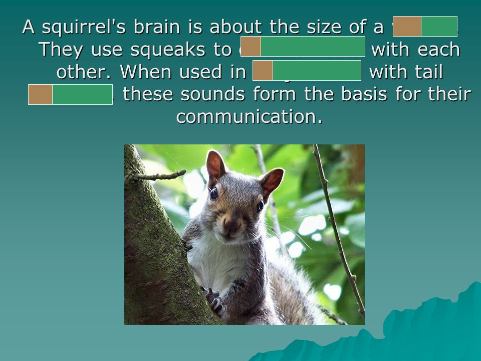 A squirrel s brain is about the size of a walnut. They use squeaks to communicate with each other.