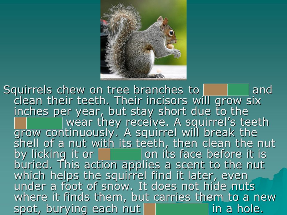 Squirrels chew on tree branches to sharpen and clean their teeth.