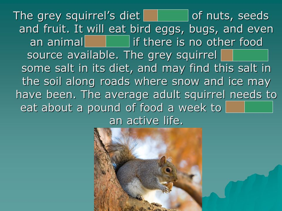 The grey squirrels diet consists of nuts, seeds and fruit.