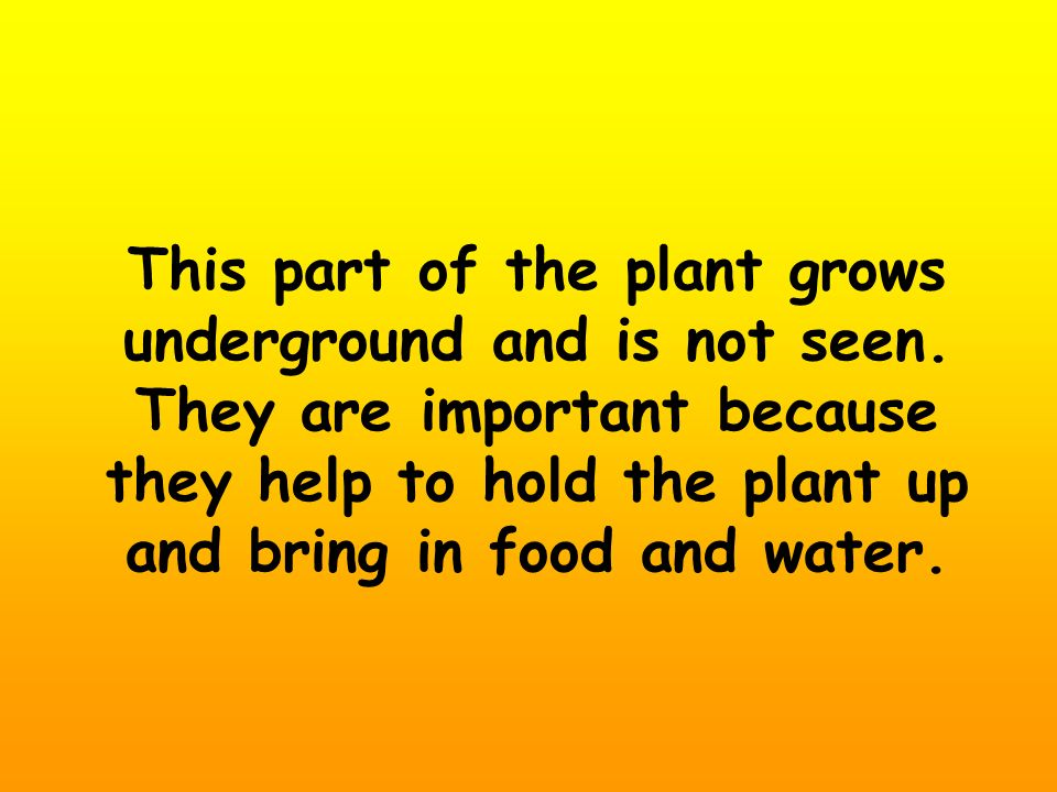 This part of the plant grows underground and is not seen. They are important because they help to hold the plant up and bring in food and water.