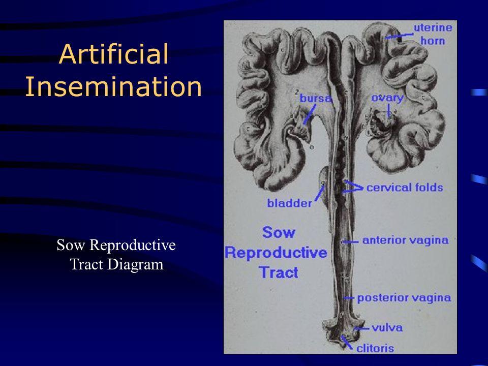Artificial Insemination Bovine Reproductive Tract Diagram