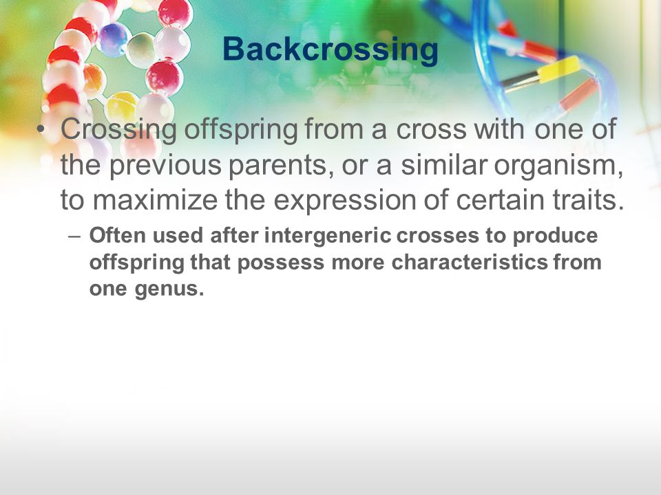 Backcrossing Crossing offspring from a cross with one of the previous parents, or a similar organism, to maximize the expression of certain traits. –O