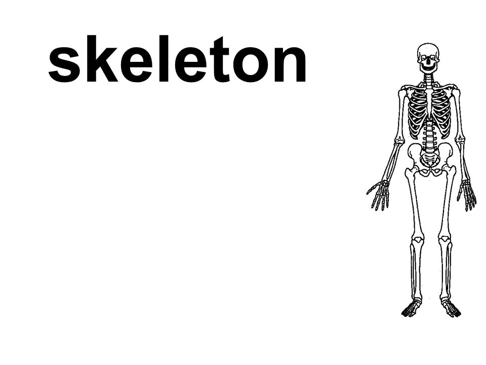 moves the skeleton and is responsible for all our voluntary movements