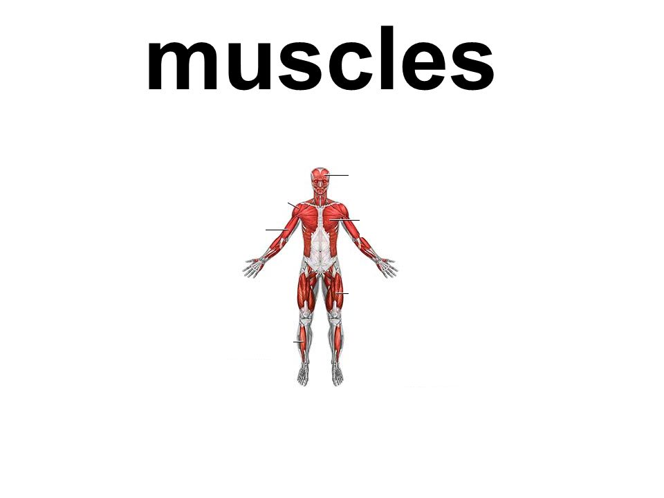 Muscle not under the control of the will; usually consists of smooth muscle tissue is usually associated with skin.