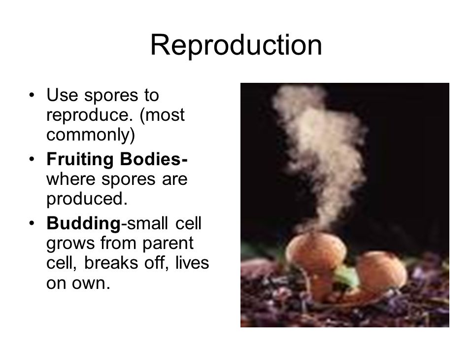 Reproduction Use spores to reproduce. (most commonly) Fruiting Bodies- where spores are produced. Budding-small cell grows from parent cell, breaks of