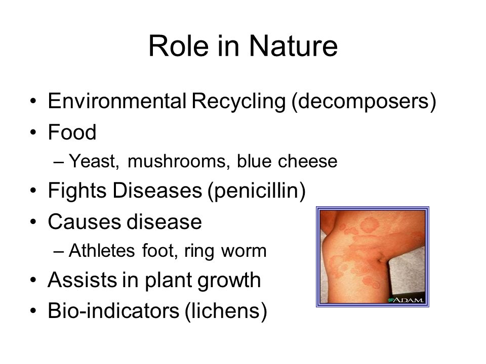 Role in Nature Environmental Recycling (decomposers) Food –Yeast, mushrooms, blue cheese Fights Diseases (penicillin) Causes disease –Athletes foot, r