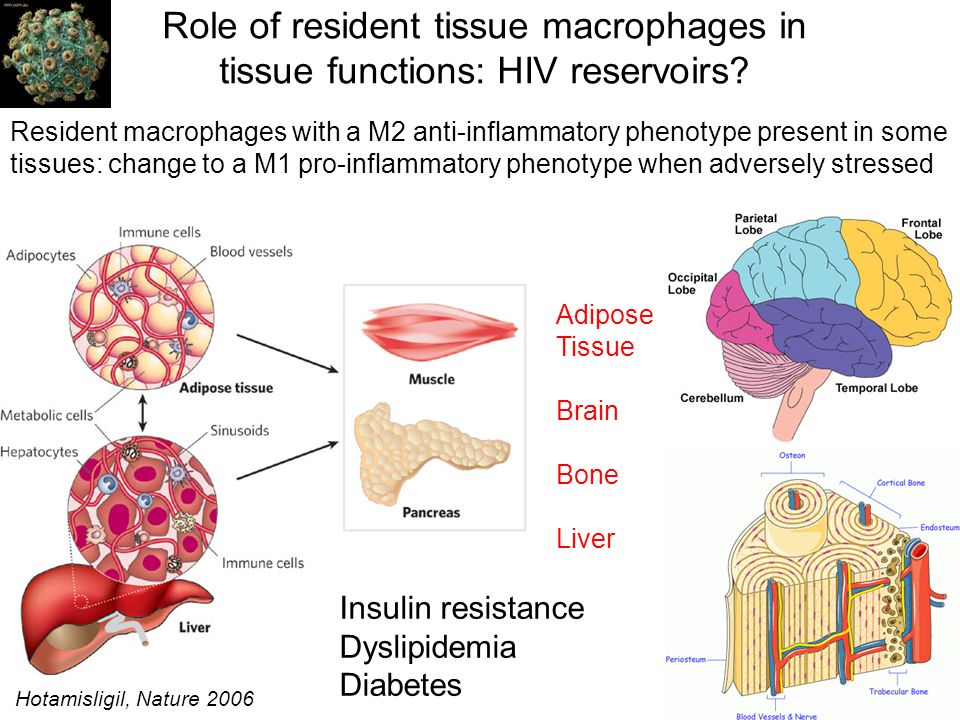 Role of resident tissue macrophages in tissue functions: HIV reservoirs? Insulin resistance Dyslipidemia Diabetes Resident macrophages with a M2 anti-
