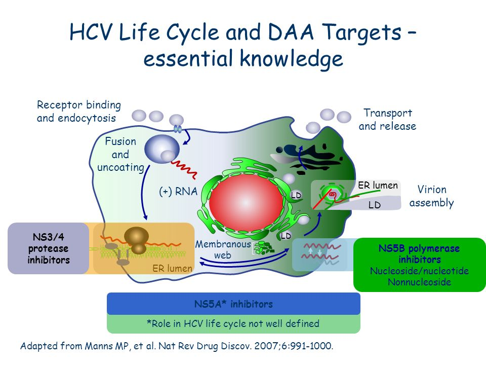 HCV Life Cycle and DAA Targets – essential knowledge Adapted from Manns MP, et al. Nat Rev Drug Discov. 2007;6:991-1000. Receptor binding and endocyto
