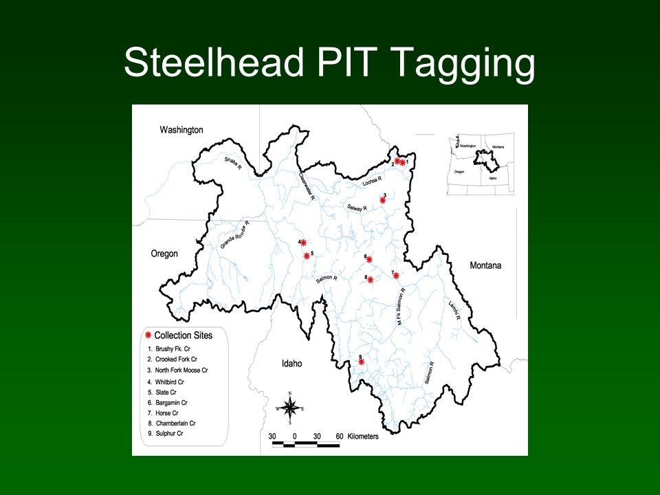 Steelhead PIT Tagging
