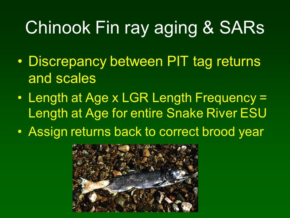 Chinook Fin ray aging & SARs Discrepancy between PIT tag returns and scales Length at Age x LGR Length Frequency = Length at Age for entire Snake Rive
