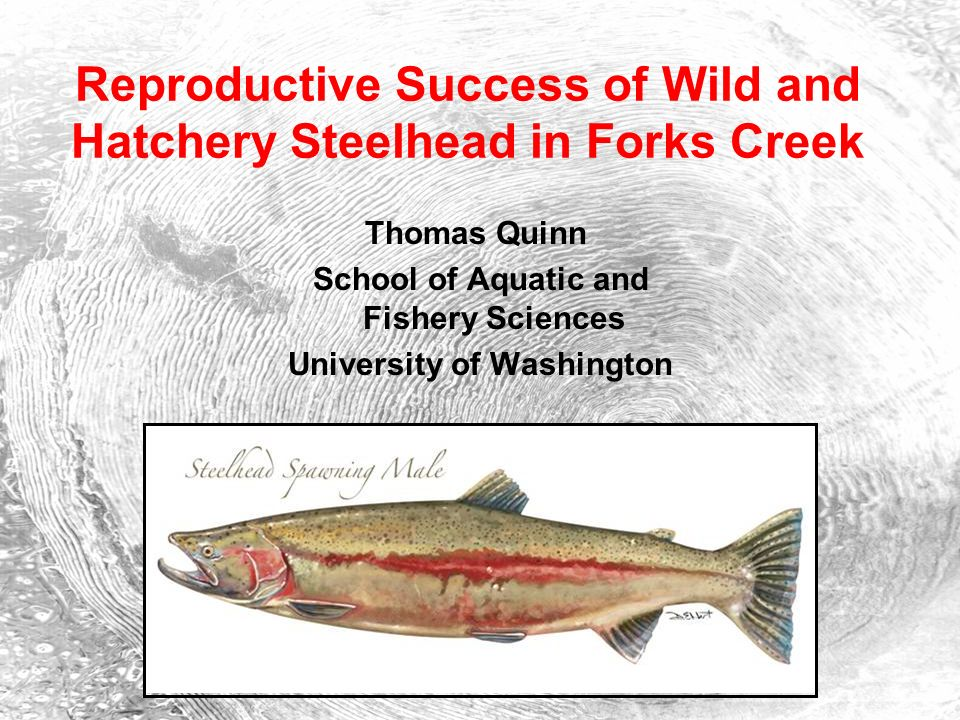 Reproductive Success of Wild and Hatchery Steelhead in Forks Creek Thomas Quinn School of Aquatic and Fishery Sciences University of Washington