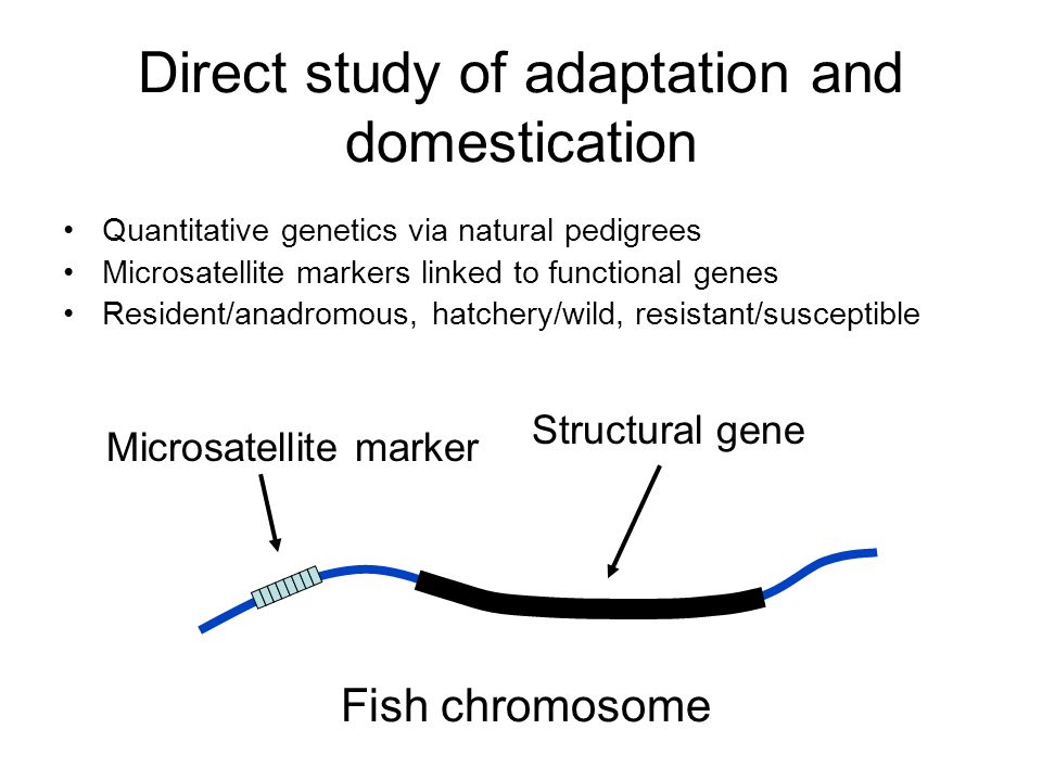 Direct study of adaptation and domestication Quantitative genetics via natural pedigrees Microsatellite markers linked to functional genes Resident/anadromous, hatchery/wild, resistant/susceptible Structural gene Microsatellite marker Fish chromosome