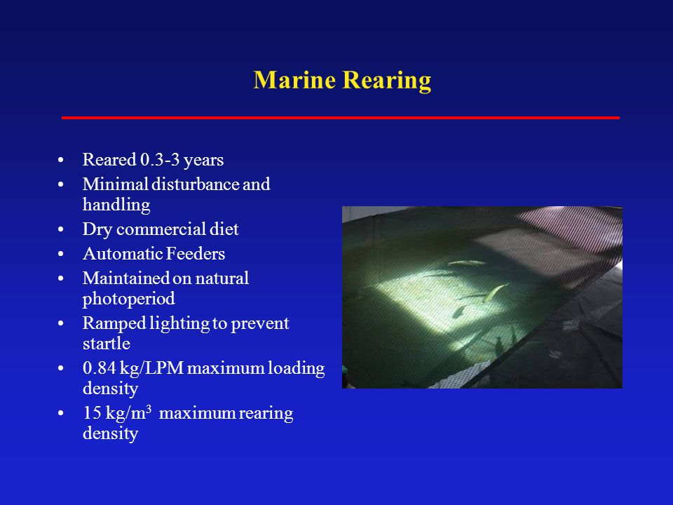 Marine Rearing Reared 0.3-3 years Minimal disturbance and handling Dry commercial diet Automatic Feeders Maintained on natural photoperiod Ramped ligh