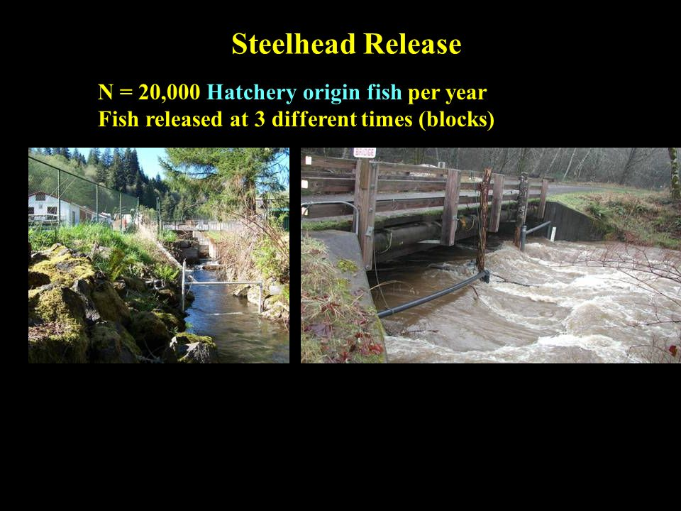 Steelhead Release N = 20,000 Hatchery origin fish per year Fish released at 3 different times (blocks)