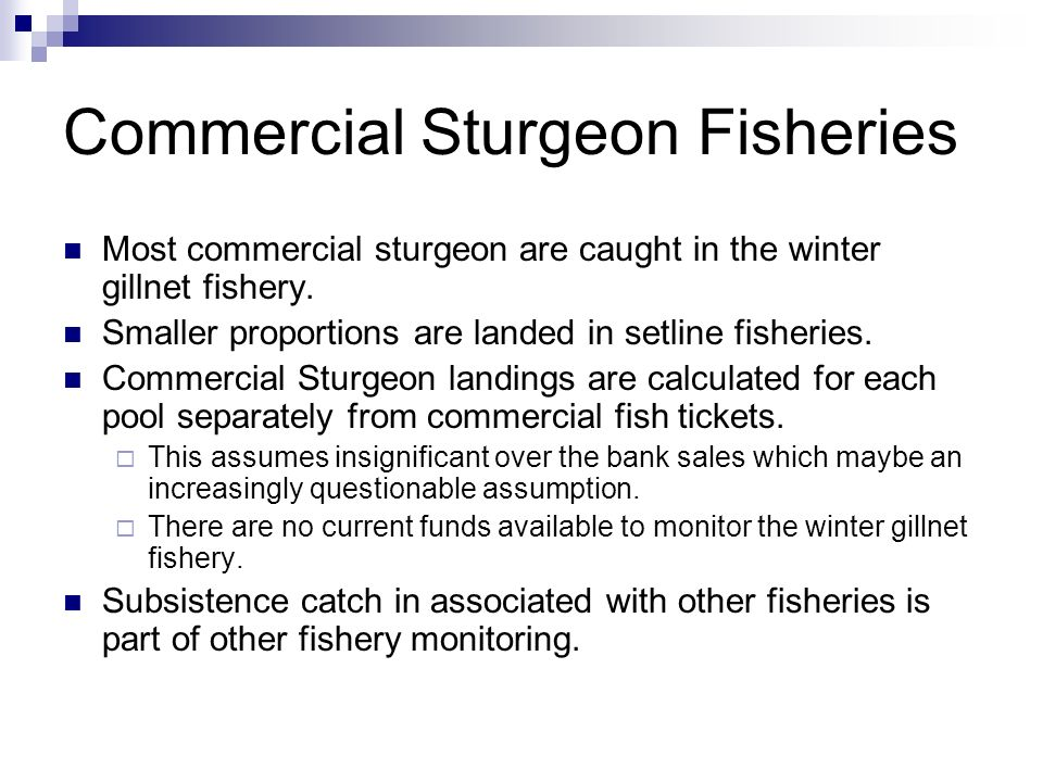 Commercial Sturgeon Fisheries Most commercial sturgeon are caught in the winter gillnet fishery. Smaller proportions are landed in setline fisheries.