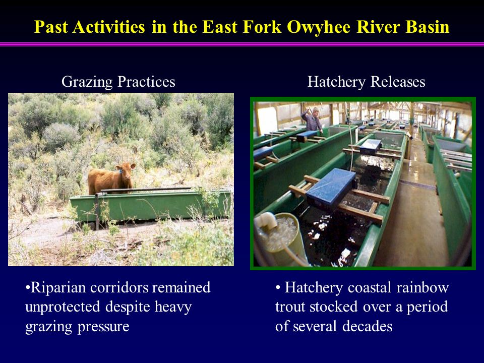 Past Activities in the East Fork Owyhee River Basin Grazing PracticesHatchery Releases Hatchery coastal rainbow trout stocked over a period of several decades Riparian corridors remained unprotected despite heavy grazing pressure