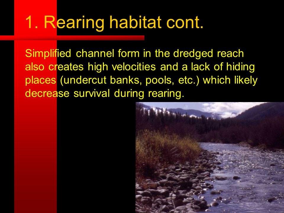 1. Rearing habitat cont. Simplified channel form in the dredged reach also creates high velocities and a lack of hiding places (undercut banks, pools,