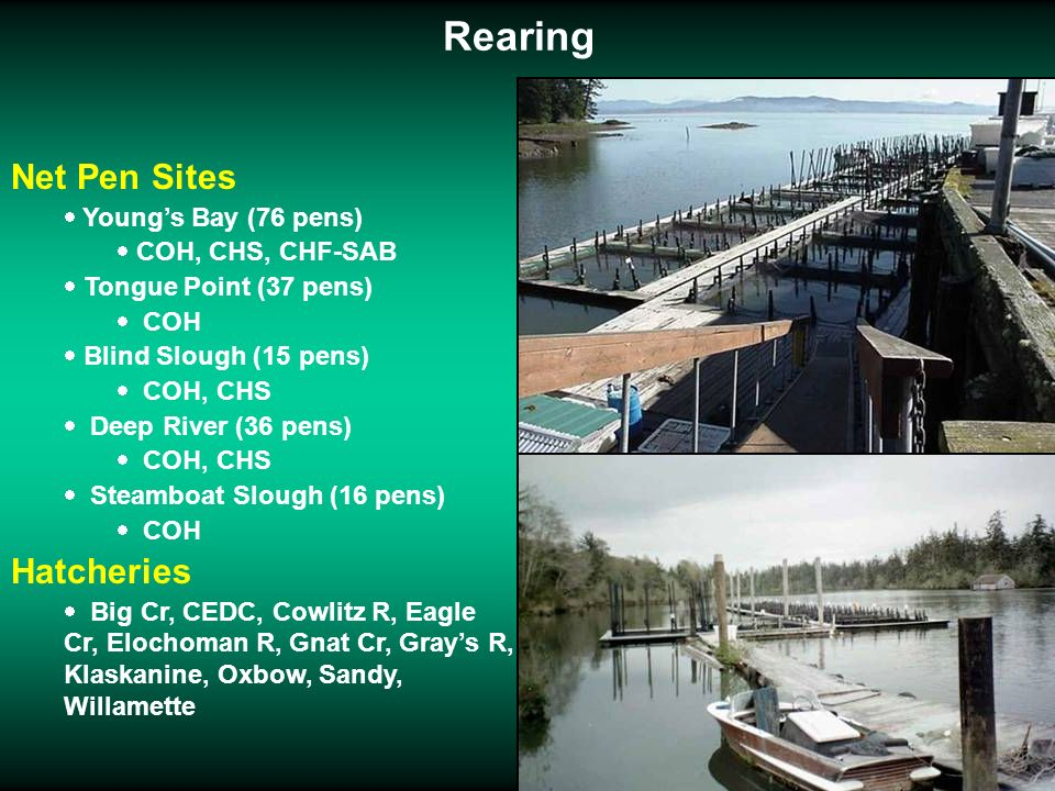 Rearing Net Pen Sites Youngs Bay (76 pens) COH, CHS, CHF-SAB Tongue Point (37 pens) COH Blind Slough (15 pens) COH, CHS Deep River (36 pens) COH, CHS