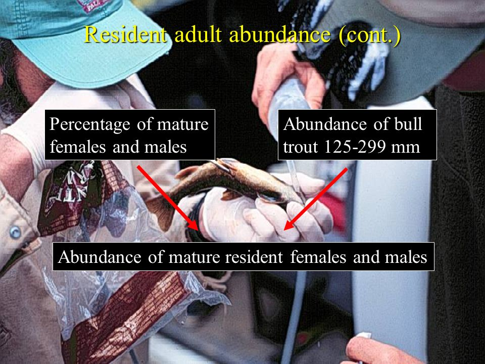 Resident adult abundance (cont.) Percentage of mature females and males Abundance of bull trout 125-299 mm Abundance of mature resident females and ma