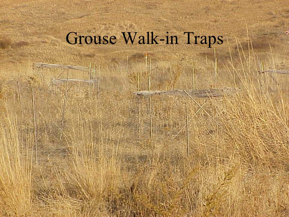 Grouse Walk-in Traps