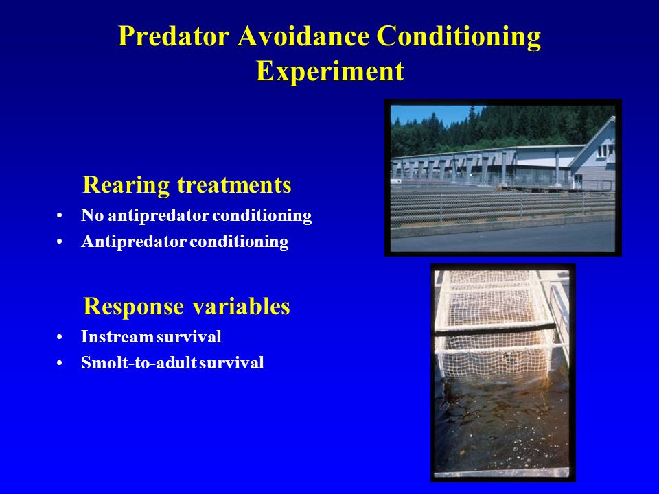 Predator Avoidance Conditioning Experiment Rearing treatments No antipredator conditioning Antipredator conditioning Response variables Instream survival Smolt-to-adult survival