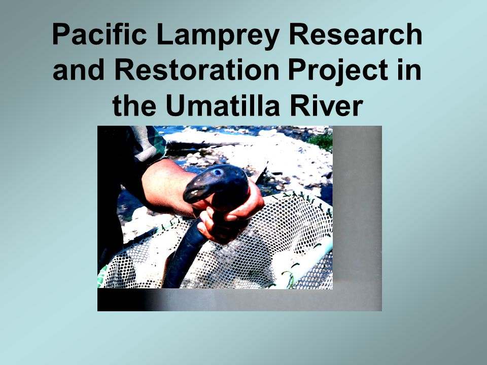 Current Research CTUIR, MSU, CEFAS,- Novel stress steroids in Pacific Lamprey.