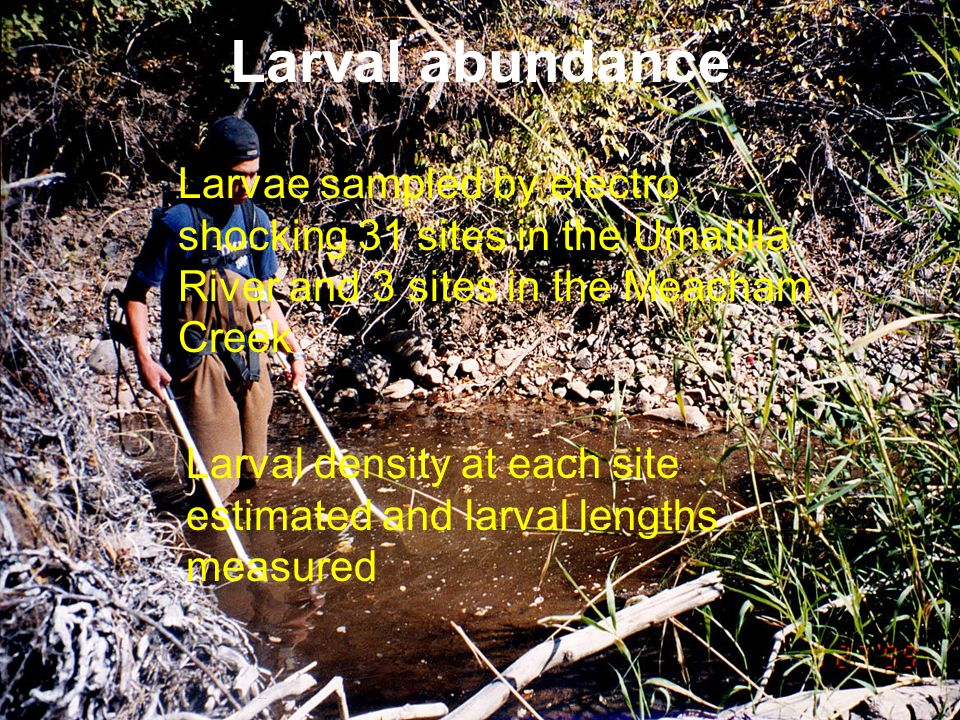 Larval abundance Larvae sampled by electro shocking 31 sites in the Umatilla River and 3 sites in the Meacham Creek Larval density at each site estima