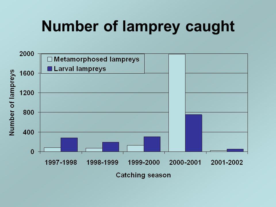 Number of lamprey caught