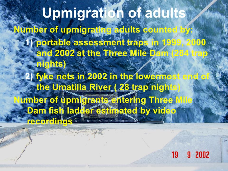 Upmigration of adults Number of upmigrating adults counted by: 1) portable assessment traps in 1999, 2000 and 2002 at the Three Mile Dam (284 trap nig