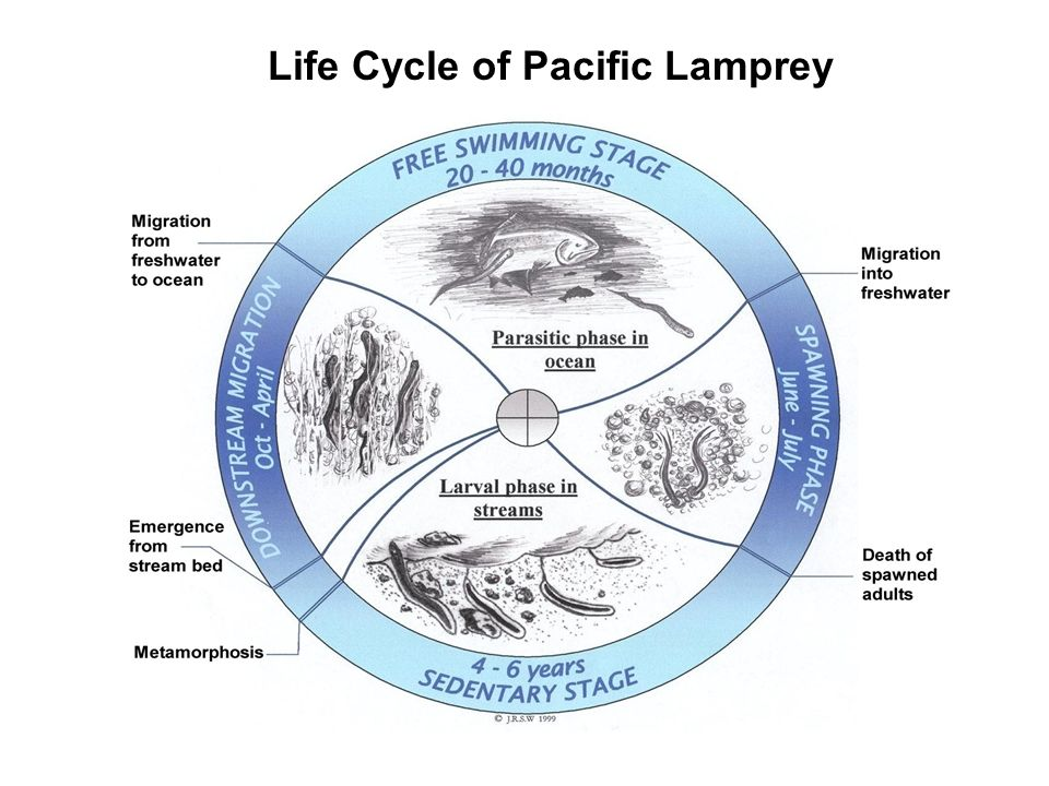 Outmigration of lampreys Natural production of lamprey in the Umatilla River produces tens of thousands of metamorphosed individuals annually A large proportion of lamprey may metamorphose in the Columbia River The mean size of outmigrating lampreys were higher than earlier studies