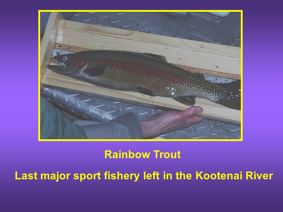 Kootenai River Rainbow and Bull Trout Research