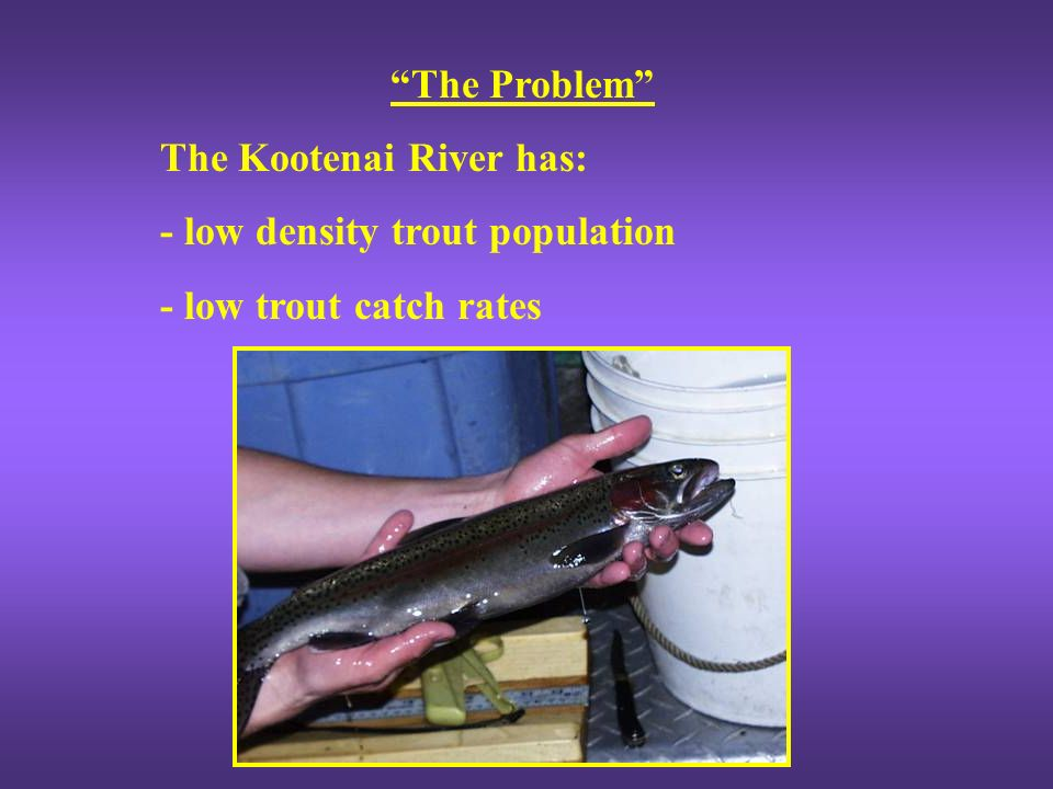 Rainbow Trout Last major sport fishery left in the Kootenai River