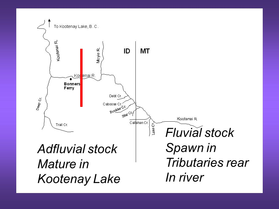 Objective 1 Quantify rainbow trout recruitment (out-migrants) to the Kootenai River
