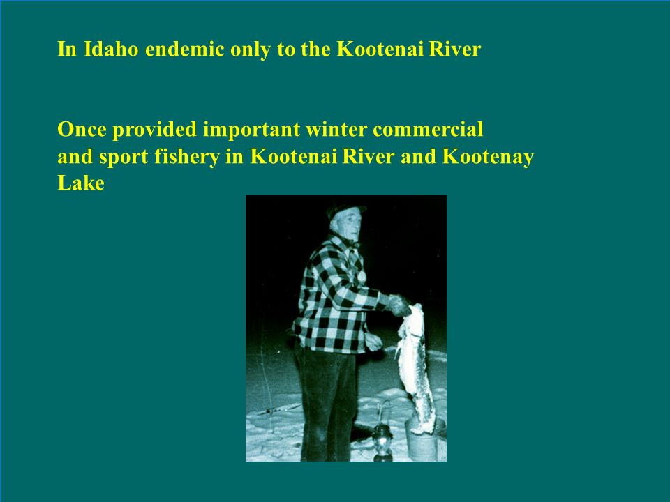 Recommended Flows for Burbot Spawning Migrations in the Kootenai River